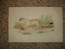 ANTIQUE ANIMAL PRINT ERMINE LARGE WEASEL Superb NR