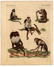 Affe-Affen-Arten-Primaten Bertuch-Kupferstich 1800
