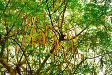 Meerrettichbaum Moringa oleifera Wunderbaum Pflanze 15-20cm Behenbaum Rarität