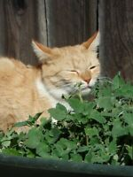 ☺1000 graines de cataire / herbe à chat / nepeta cataria / semences