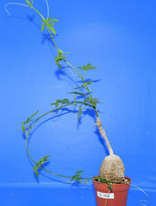 31001Kedrostis africana, phyto available