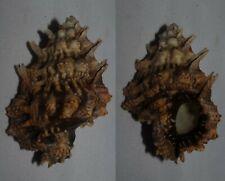 Seashells Bursa lamarcki FROG SHELL 61.2mm F+++/GEM Superb Marine Specimen