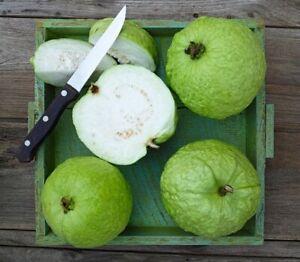 "Thai GUAVA (Psidium guajava) live Tropical Fruit tree 12""-24"""