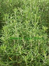 ORGANIC HERB  ROSEMARY  75 SEEDS (ROSEMARINUS OFFICINALIS)