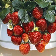 STRAWBERRY MINI PLUG PLANTS 'TEMPTATION' F1 x 12 [ Hanging Baskets Pots Patio ]