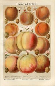 1895 PEACH APRICOT FRUIT Antique Chromolithograph Print