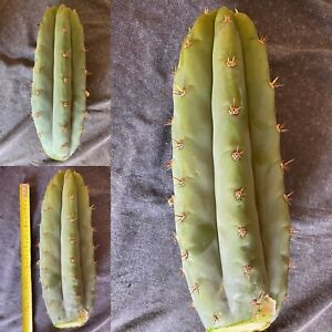Echinopsis Sp. 'Boultwood' Cactus. Fat and Heavy cut