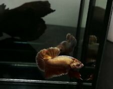 (AAA Grade) Premium Live Betta Fish Healthy Male Super Gold Red Iron Man