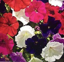 Petunie Niedriger Mix 80+ Semillas. Beet Staude Blume Bedding Flower Petunia