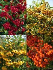 Alkaline Evergreen Shrubs & Hedges