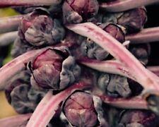 *Red Ball* Rosenkohl 100+ Samen, mit sehr zarten und aromatische lila Röschen