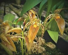 Bulbophyllum costatum