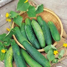 Cucumber - Bedfordshire Prize - 50 Seeds