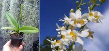 Doritis pulcherima alba, Orchidée, Orchid, RARE