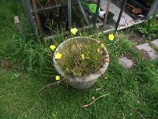 7 graines Drosophyllum lusitanicum