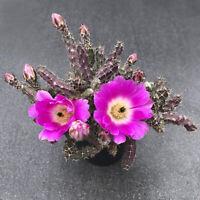 Succulent Cactus Live Plant -Echinocereus Pentalophus 6cm - Beautiful Rare Plant