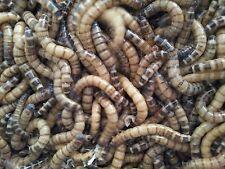 50g Morio worms (Zophobas)