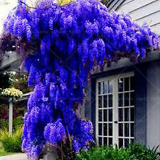10Pcs BLUE Wisteria Tree Seeds Indoor Ornamental Plants Flower beautiful garden