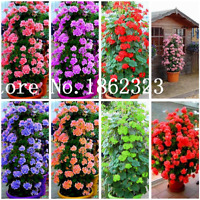 100 Pcs Seeds Climbing Bonsai Geranium Variegated Flowers Potted Garden NEW X Z