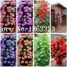 100 Pcs Seeds Climbing Bonsai Geranium Variegated Flowers Potted Garden NEW X Z
