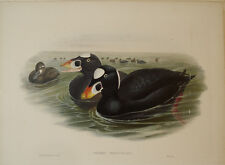 John Gould surf scoter orco marino birds Uccelli stampa antica old print gravure