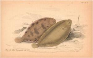 SOLE & VARIEGATED SOLE FISH, hand colored engraving, MATTED, Jardine,1843*