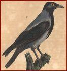 Ornithology Corneille Black Hooded engraving Original