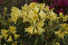 Rhododendron Goldstrike - Two Gallon Plant - Small, Bright Yellow Blooms!