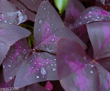 1-OXALIS PURPLE SHAMROCK CLOVER  BULB GOOD LUCK PLANT