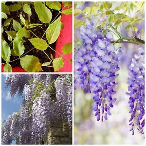 "Wisteria Vine Start 5""+ Tall Hardy Live Climbing +3 FREE SAMPLE PLANT"