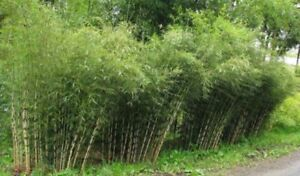 MABES WAREHOUSE 50 Siergras Collectie Bamboo Seeds Privacy Plant Garden Clumping Shade Screen