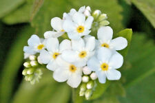 6 x Myosotis Sylva White 'Forget-me-not' Large Plug Plants, Biennial, Borders