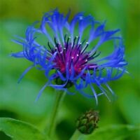 bee balm, spotted, 50 seeds, RARE PERENNIAL! blue flower.