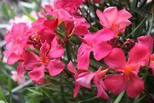 3 Oleander Stecklinge - PAPA GAMBETTA