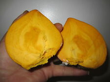 "18"" Canistel Yellow Sapote Tropical Plant Pouteria campechiana cây trứng gà"