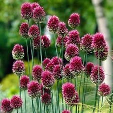 ALLIUM: Drumstick 10 BULBS | Ornamental Perennial Plants Flower Garden Unique