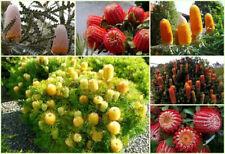 10Pcs Banksia Tree Seeds Exotic 6 Kind Beautiful Fragrant Plant Yard
