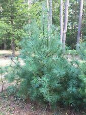 "18""-24"" Eastern White Pine Seedlings / Transplants; Lot of 5 ea; BARE ROOT"