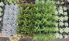 "JIIMZ 200 Beautiful 1.5"" SUCCULENT COLLECTION  plant party favor gifts"