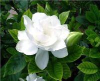 50pcs/bag arabian jasmine gardenia flower seeds rare white and fragrance cape ja