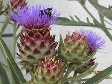 100 CARDOON SEEDS,  An attractive EDIBLE PLANT IN ANY GARDEN