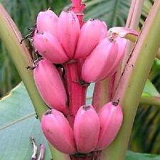 10 graines Musa Velutina, bananier nain d'intérieur, dwarf banana seeds