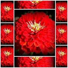 "Zinnia Elegans 50 FLOWER seeds ""CHERRY QUEEN ""  RED SUMMER FLOWER EASY TO GROW"
