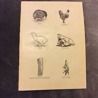 Vintage Book Print - Conditions Affecting Chickens - 1924