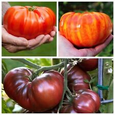 Seeds Tomato Giant Russian Hercules Rainbow Black Vegetable Organic Heirloom