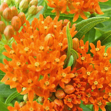 80 Butterfly Weed Wildflower Seeds - Everwilde Farms Mylar Seed Packet