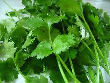 Koriander - 250 Samen - Coriandrum Sativum Gewürz , Heilpflanze , Duftpflanze