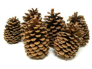 """Large Pine Cones 5.5""""-8"""" Christmas Holiday Decor set of 6"""