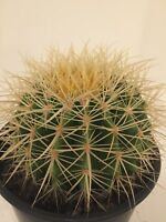 """Huge /& Unique Peruvian cactus cacti /""""cutting only/"""" real live plant approx 11/"""""""