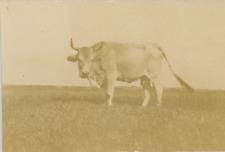 Un boeuf Vintage albumen Print Tirage albuminé  8x11  Circa 1890